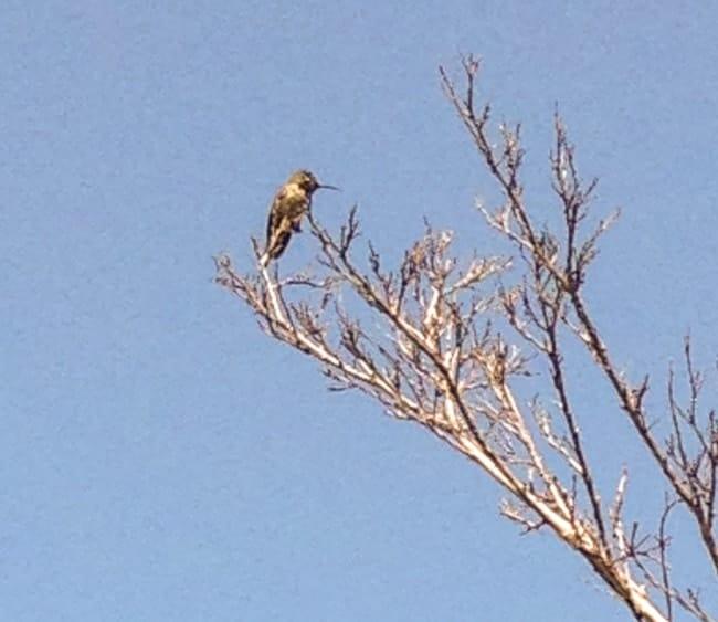 San Diego 2015 Hummingbird